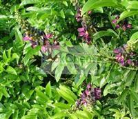 Natural Suberect Spatholobus Stem Extract