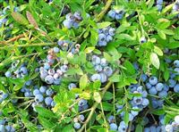 Natural Organic Bilberry extract anthocyanidin