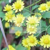 Manufacture Supply Chrysanthemum Extract Powder