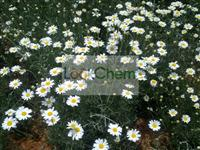Natural Pyrethrum extract