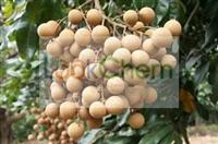Buy high quality Cinnamon cassia extract factory