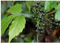 Gynostemma pentaphyllum extract(15588-68-8)