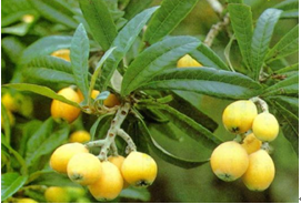 loquat leaf extract products(77-52-1)