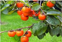 Persimmon leaf extract(525-82-6)