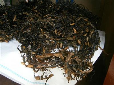 Ascophyllum nodosum seaweed