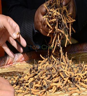 Organic Cordyceps Sinensis Extract