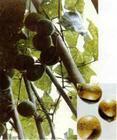 Momordica Extract