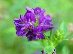 alfalfa saponins
