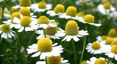 100% Natural Chamomile Extract 20: 1; Apigenin 0.3%-98%  for Foods and Supplement