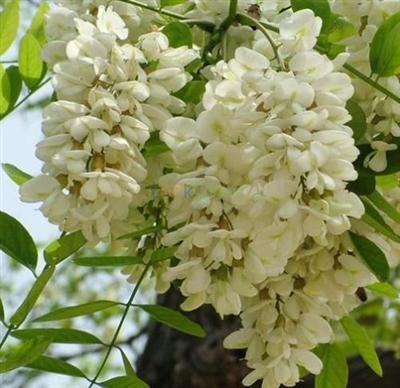 Rutin Sophora Japonica Extract 95%