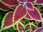 100% Natural coleus forskohl CAS No.: